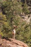 Desert Bighorn Sheep Ram on Rock Royalty Free Stock Photography