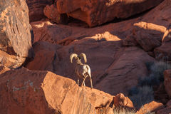 Desert Bighorn Sheep Ram in Rocks Stock Photo