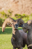 Desert Bighorn Sheep Ram Royalty Free Stock Image