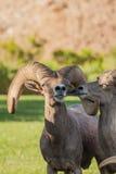 Desert Bighorn Sheep Ram Royalty Free Stock Image