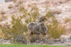 Desert Bighorn Sheep Ram Stock Images