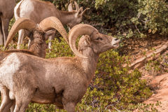 Desert Bighorn Sheep Ram Rutting Royalty Free Stock Photo