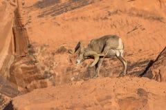 Desert Bighorn Sheep Ram Scratching Royalty Free Stock Photography