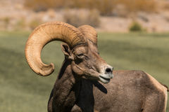 Desert Bighorn Sheep Ram Side Portrait Stock Images