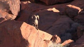 Desert Bighorn Sheep Ram stock video