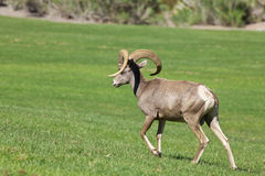 Desert Bighorn Sheep Ram Walking Royalty Free Stock Photography
