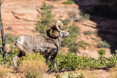 Desert Bighorn Sheep Ram. A desert bighorn sheep ram in Zion National park Stock Images