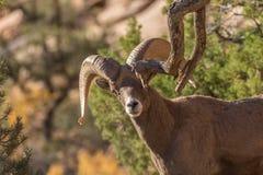 Desert Bighorn Sheep Ram. A desert bighorn sheep ram in Zion National Park Utah during the fall rut Stock Photography