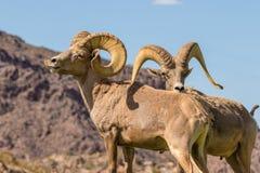 Free Desert Bighorn Sheep Rams Stock Photos - 81800543