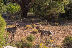 Desert Bighorn Sheep Rams Facing Off. A pair of desert bighorn sheep rams in Zion National Park Utah during the fall rut Royalty Free Stock Photo