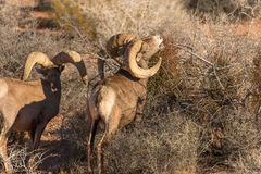 Desert Bighorn Sheep Rams Feeding. A pair of desert bighorn sheep rams feeding in nevada Royalty Free Stock Photography