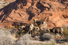 Desert Bighorn Sheep Rams Grazing. A herd of desert bighorn sheep rams in red rocks in nevada Royalty Free Stock Photo