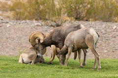 Desert Bighorn Sheep Rams Royalty Free Stock Image
