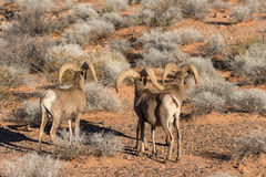 Desert Bighorn Sheep Rams. A herd of desert bighorn sheep rams  in nevada Stock Images