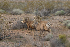 Desert Bighorn Sheep Rams. A herd of desert bighorn sheep rams in Nevada Stock Image
