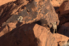 Desert Bighorn Sheep Rams. A nice pair of desert bighorn sheep rams in Nevada Royalty Free Stock Photos