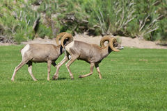 Desert Bighorn Sheep Rams. A pair of desert bighorn sheep rams in a meadow Royalty Free Stock Photography