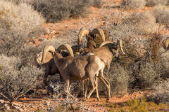 Desert Bighorn Sheep Rams. A pair of desert bighorn sheep rams in nevada Stock Images