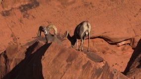 Desert Bighorn Sheep Rams stock video footage