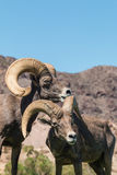 Desert Bighorn Sheep Rams. A pair of desert bighorn sheep rams standing head on Stock Photography