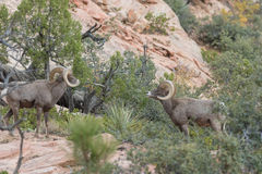 Desert Bighorn Sheep Rams. A pair of desert bighorn sheep rams in Zion National Park Utah during the fall rut Royalty Free Stock Photos