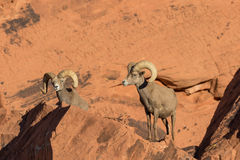 Desert Bighorn Sheep Rams Posing. A nice pair of desert bighorn sheep rams in Nevada Stock Image