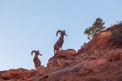 Desert Bighorn Sheep Rams. On a ridge Stock Photos