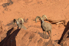 Desert Bighorn Sheep Rams in Rocks. A nice pair of desert bighorn sheep rams in Nevada Stock Photos