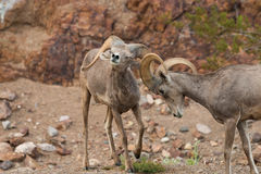 Desert Bighorn Sheep Rams in Rut. A pair of desert bighorn sheep rams in the rut Royalty Free Stock Images