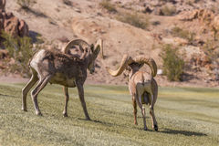 Desert Bighorn Sheep Rams in Rut Royalty Free Stock Photography