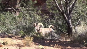 Desert Bighorn Sheep Rams in Rut. A pair of desert bighorn sheep rams in Zion National Park Utah during the fall rut stock video footage