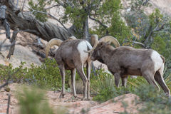 Desert Bighorn Sheep Rams During the Rut. A pair of desert bighorn sheep rams in Zion National Park Utah during the fall rut Royalty Free Stock Photos