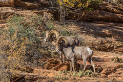 Desert Bighorn Sheep Rams During the Rut. A pair of desert bighorn sheep rams in Zion National Park Utah during the fall rut Stock Photography
