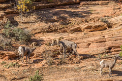 Desert Bighorn Sheep Rams Rutting. A pair of desert bighorn sheep rams in Zion National Park Utah during the fall rut Royalty Free Stock Image