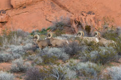 Desert Bighorn Sheep Rams. A small band of desert bighorn sheep rams in Nevada Royalty Free Stock Photography
