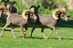 Desert Bighorn Sheep Rams. A small group of desert bighorn sheep rams Stock Images