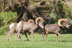 Desert Bighorn Sheep Rams. A small group of desert bighorn sheep rams Stock Photography