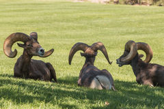 Desert Bighorn Sheep Rams. Three desert bighorn sheep rams bedded in grass Stock Photos