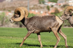 Desert Bighorn Sheep Rams Walking. A pair of desert bighorn sheep rams walking Stock Photo