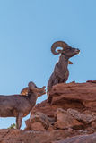 Desert Bighorn Sheep Rams. In zion national park utah Stock Images