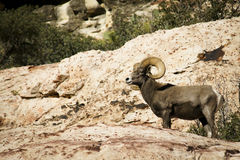Desert bighorn sheep in Red Rock NCA Nevada Stock Photos