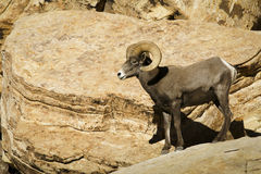 Desert bighorn sheep in Red Rock NCA Nevada royalty free stock image