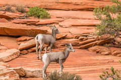 Desert Bighorn Sheep in Rocks Stock Images