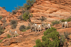 Desert Bighorn Sheep in Rocks Royalty Free Stock Image