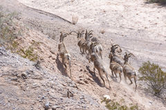 Desert Bighorn Sheep Running Stock Photography