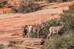 Desert Bighorn Sheep Rutting Royalty Free Stock Image