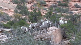 Desert Bighorn Sheep Rutting. A desert bighorn sheep herd in Zion National Park Utah during the fall rut stock video