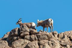 Desert Bighorn Sheep Rutting. A desert bighorn sheep ram and ewe in the fall rut stock images