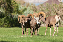 Desert Bighorn Sheep Rutting Royalty Free Stock Images