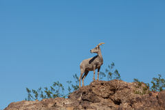 Desert Bighorn Sheep. A desert bighorn sheep standing on rock with blue sky Stock Photo